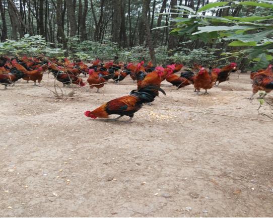 鸡3.png